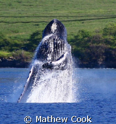 &quot;Breach &amp; Bow&quot;. Adult Humpback Whale breaching in the wat... by Mathew Cook 